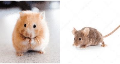 hamster-ou-souris