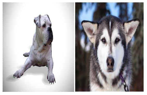 Croisement Bulldog et Husky : Photos, Prix (et du fun...)
