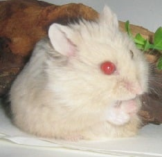 hamster yeux rouges