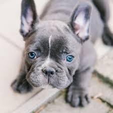 Est-ce que les Yeux du Bulldog Français Deviennent Bleus ?