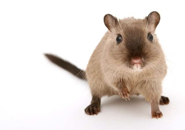 hamster avec souris