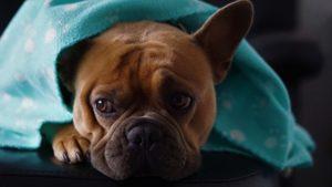 bulldog anglais odeur