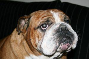 traitement allérgie bulldog