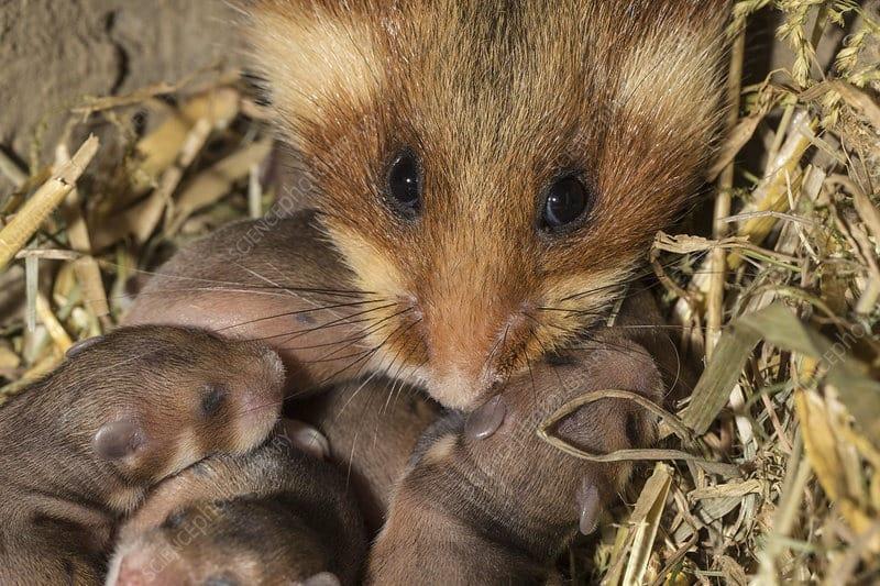 hamster enceinte