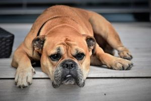 Les Bulldog Français Sont Ils des Chiens Hypoallergéniques ? (ou le contraire)