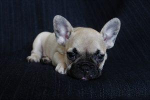 Que Regarder Avant d'Acheter un Bébé Bulldog Français ?