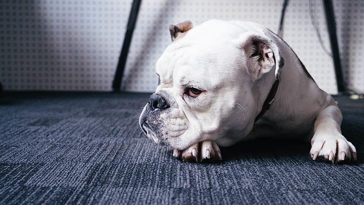 bulldog yeux rouges