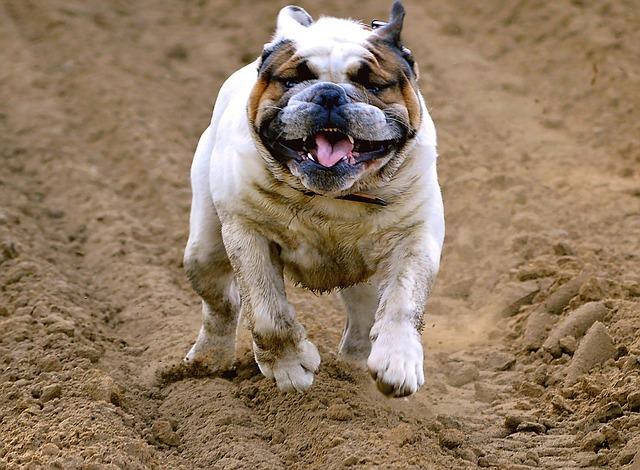 maladie bulldog