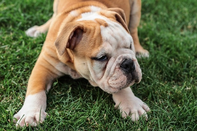santé d'un bulldog anglais