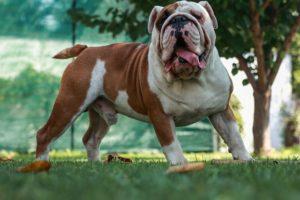 accouplement bulldog anglais