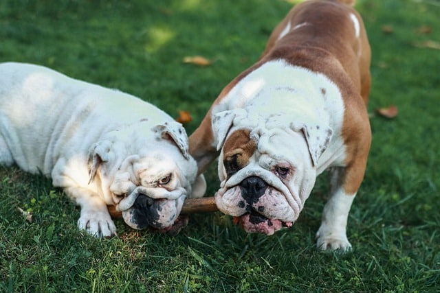 bulldog anglais accouplement