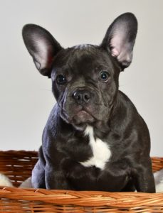 dresser un bulldog français