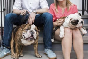 bulldog anglais dressage