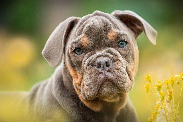 Pourquoi le Bulldog a le Visage Ecrasé ? (et pourquoi il n'est pas...)