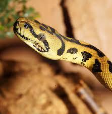 Serpent royal