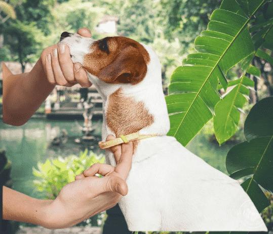 bien serrer le collier d'un chien