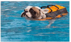 natation bouledogue français