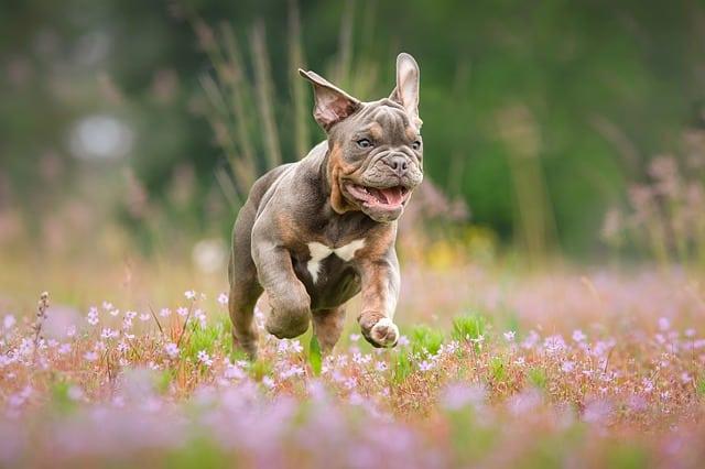 Combien de Petits un Bulldog Français a-t-il dans une Portée ? (normalement)