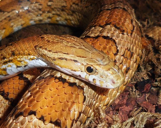 Serpent des Blés Ou Serpent Cuivré