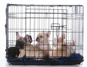 Entraîner Votre Bouledogue à la Cage : Meilleures Astuces
