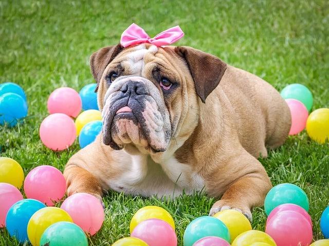 Bulldog Français Mâle ou Femelle : Lequel Devez Vous Choisir ?
