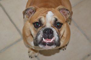 Que Peuvent Manger les Bulldogs (ou pas) ? Guide Complet