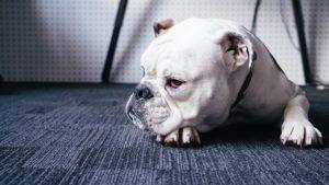 Bulldog Anglais : Insémination Artificielle Obligatoire ? (top 4 des...)