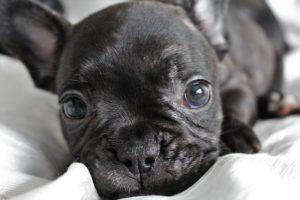 Bébé Bulldog Français : Comment l'entraîner à devenir propre ? (astuces pro)