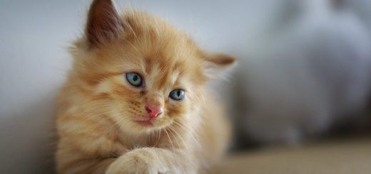 Comment les Chats se Reproduisent