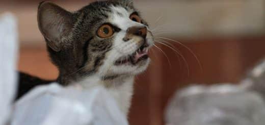 Quels sont les 12 Miaulements d'un Chat et leur Signification ? (et les reconnaître)