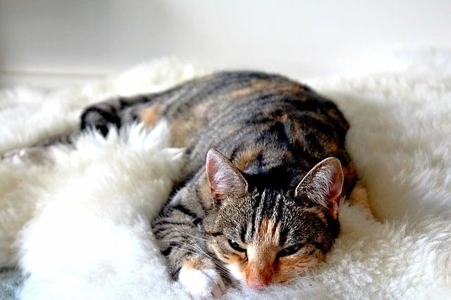 Comment faire dormir un chat la nuit