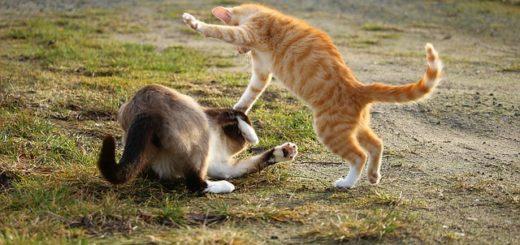 Pourquoi les Chats se Battent la Nuit ? (et ce que vous devez faire)