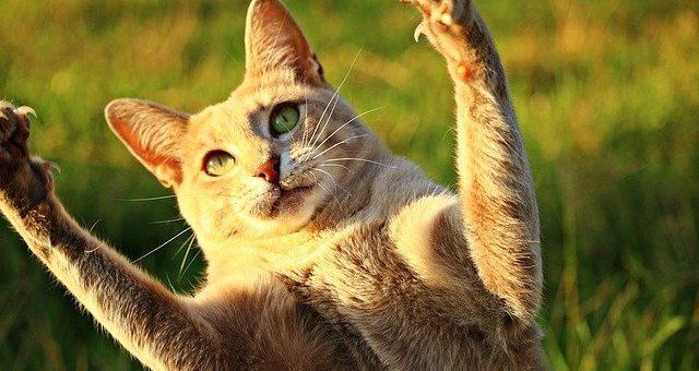 Pourquoi les Chats Sont Si Souples
