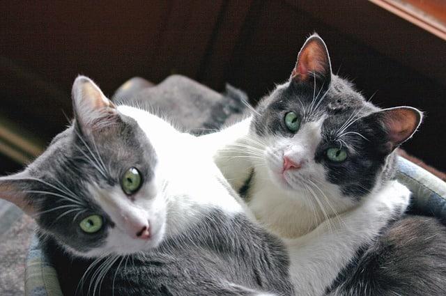 Comment Savoir Si Vous Chats s'apprécient mutuellement ?