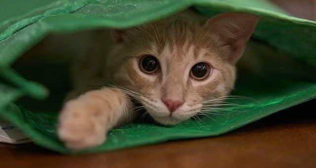 Pourquoi les Chats Aiment Autant les Sacs ? (surtout en plastique)