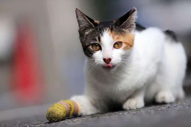 Les Chats avec 3 Couleurs Sont Il Toujours des Femelles ?