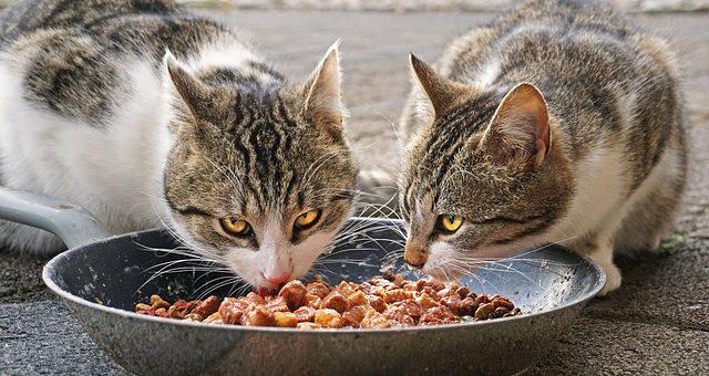 Les Chats Peuvent Ils Manger de la Nourriture Pour Chien