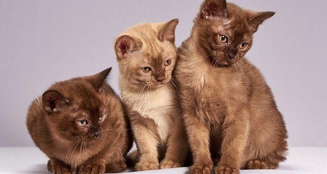 Couleurs du Pelage des Chats : Découvrez ces Faits Incroyables (qu'elles révèlent)
