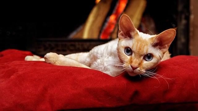 9 races de chat qui ne perdent pas beaucoup de poils ?