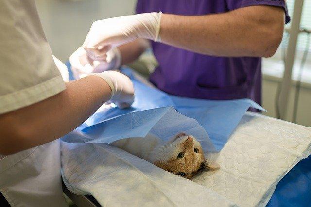 Pourquoi Vacciner Mon Chat d'Intérieur